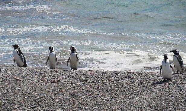 Pingüino Magallanes - Argentina